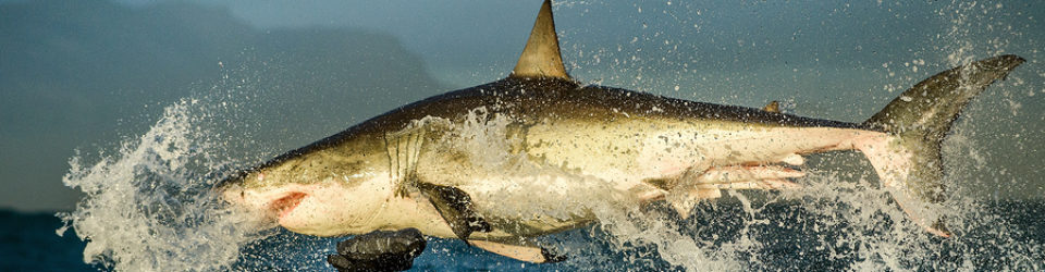 Why Great White Sharks Are Amazing Hunters